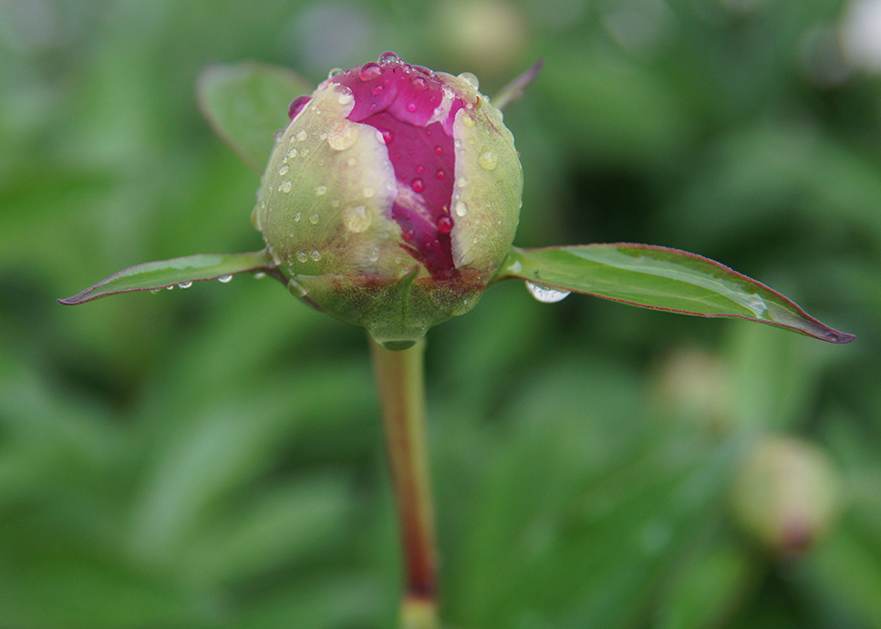 A flower ready to bloom, still dripping with fresh rain